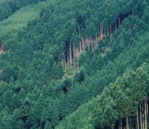 南九州市 伐採
