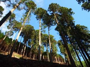 杉 伐採 鹿児島