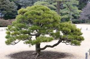 鹿児島 松の木 伐採