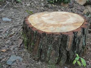 伐採後 切株